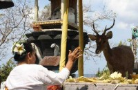 Menjangan Bali Indonesia